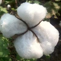 Centre Raises Cotton MSP